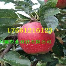 掛果新品種蘋果樹產量和栽種技術圖片