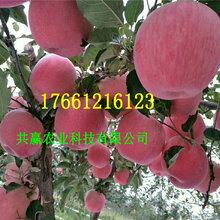 5年矮化苹果树苗采购批发价图片