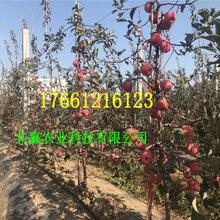 3公分富士苹果树苗送货报价图片
