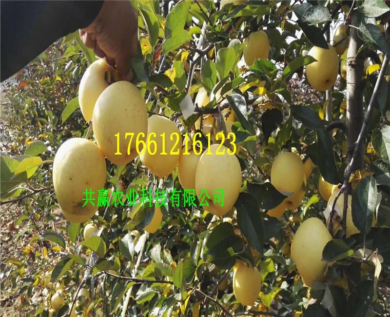 甘肃平凉苹果树哪里有卖、早熟苹果树育苗基地在哪里