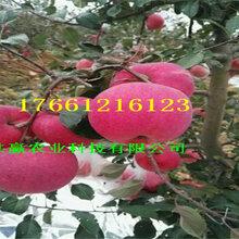 1年苹果树苗、苹果树苗新品种价格图片