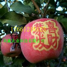 1年早熟蘋果樹基地訂購報價圖片