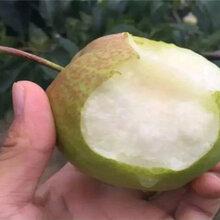 3年早熟梨树苗栽种技术图片
