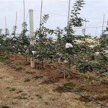 1年矮化苹果树苗主产区售价图片