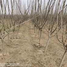 1公分蘋果樹苗產量和栽種技術圖片