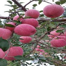 1公分红肉苹果树苗品种介绍图片
