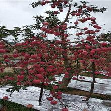 3公分短枝苹果树苗栽种技术图片