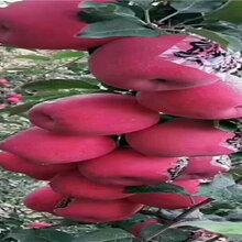 5年矮化苹果树苗品种介绍图片
