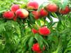 1年早熟桃树苗主产区售价