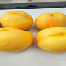 5公分36-5蟠桃树苗栽种技术图片