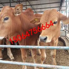 西门塔尔牛养殖有补贴最新西门塔尔牛价格走势图片