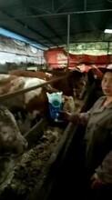 牛吃什么饲料长得快养牛怎么喂长得快图片