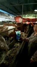牛长得慢怎么办,牛只吃不长怎么回事,牛用什么催肥图片