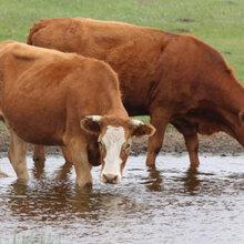 牛羊催肥药价格架子牛催肥用啥图片