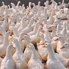 怎么样养鹅利润高肉鹅催肥的产品图片