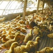 肉鸭催肥用什么好肉禽催肥饲料添加剂