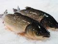 供应:中山脆肉鲩鱼脆鱼进口海鲜批发图片