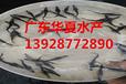鲫鱼苗多少钱一斤鲫鱼苗一亩产多斤广东华夏水产