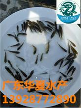 江苏南京鲫鱼苗江苏淮安鲫鱼苗3-4-5公分起热销中图片