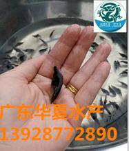 云南桂花鱼苗昆明桂鱼苗/广东出售桂花鱼苗养殖方法