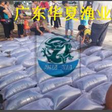 广东华夏水产供应优质桂花鱼苗/湛江淡水桂花鱼苗