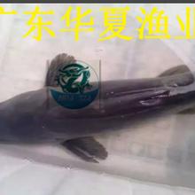 斑点叉尾鮰鱼苗批发/供应1-5公分斑点叉尾鱼苗