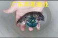 广西桂鱼苗/广西桂花鱼苗批发/网箱养殖桂花鱼苗