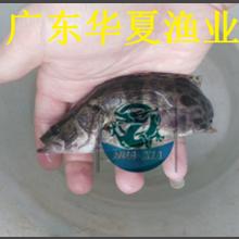 桂鱼/又名桂花鱼苗/广东桂花鱼苗