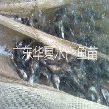 石斑鱼苗/湖北荆州石斑鱼苗/供应5公分石斑鱼苗图片