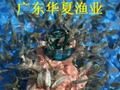 四川泸州鲫鱼苗/四川鸭嘴鱼苗批发/广东鱼苗图片