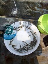 鯽魚苗批發珠海香洲鯽魚苗價格圖片