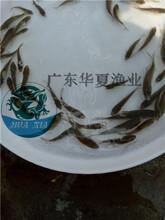 珠海鯽魚苗看圖選苗生長快速的鯽魚苗廣東鯽魚苗水產養殖圖片