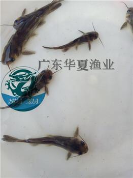 四川黄腊丁养殖技术广东华夏渔业黄腊丁鱼苗批发价格