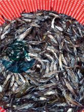 上海黃顙魚苗/云南哪里有黃顙魚苗/廣東黃骨魚苗圖片