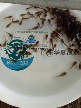 黄骨鱼苗/四川黄颡鱼苗/四川泸州黄颡鱼苗报价中