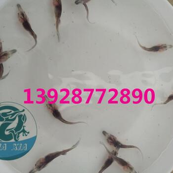 鸭嘴鱼养殖的市场前景好吗,广东鸭嘴鱼种苗基地2018年价格