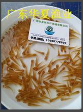 辽宁沈阳金草鱼苗/俄罗斯金草鱼苗养殖/广东华夏水产