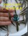 江西贛州銀雪魚苗/7月銀雪魚苗報價/廠家銀雪魚苗基地