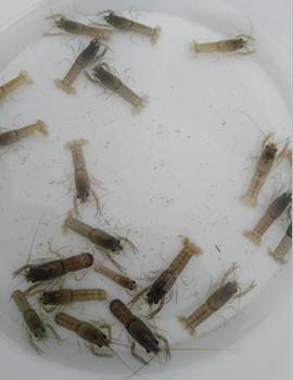澳洲龙虾苗价格3000尾起批澳洲淡水龙虾苗报价