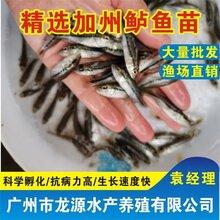 鱸魚苗加州鱸魚苗報價廣東加州鱸魚苗行情圖片