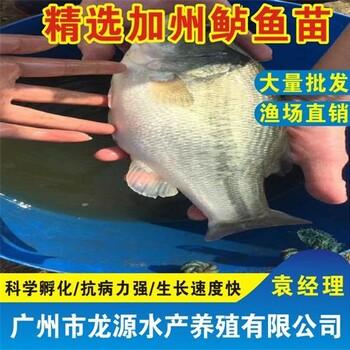 福建三明加州鲈鱼苗报价三明鲈鱼苗批发淡水加州鲈鱼苗