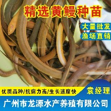 2020鲜活水产广西黄鳝苗批发梧州桂花鱼苗厂家直销图片