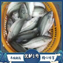 心無雜念的發信息標題為加州鱸魚苗做銷售信息圖片
