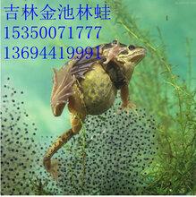 长白山林蛙蝌蚪苗林蛙蝌蚪供应图片