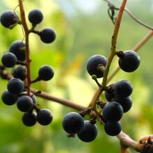 藍莓,藍靛果圖片