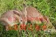 法系獭兔种公兔哪家强