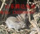关于杂交野兔现在价格图片