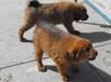江西九江大型犬舍,招加盟商,纯种名犬,猎犬和宠物犬价格,我场包技术和运输
