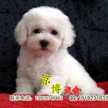 出售纯种比熊犬精品小体法系比熊多少钱北京比熊养殖基地