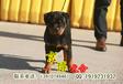 北京哪里卖罗威纳犬北京罗威纳多少钱纯种罗威纳犬